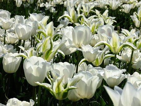 Tulip, Tulipa, Breeding Tulip, Tulpenzwiebel