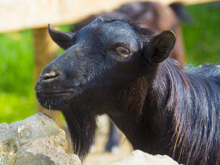 Goat, Black, Male, Without Horns, Beard, Mocha, Farm