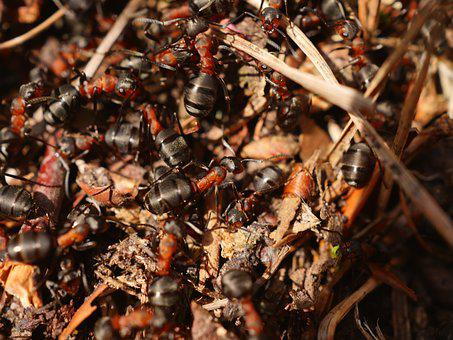 Ant, Red, Wood Ant, Anthill, Crawl, Ant Hill, Insect