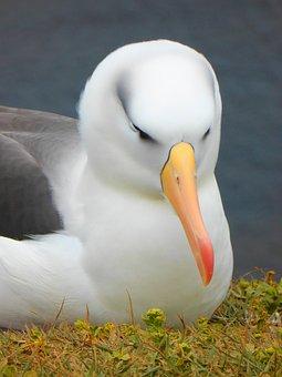 Albatross, Bird, Bill