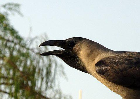 Bird, Crow, House Crow, Portrait, Corvus Splendens
