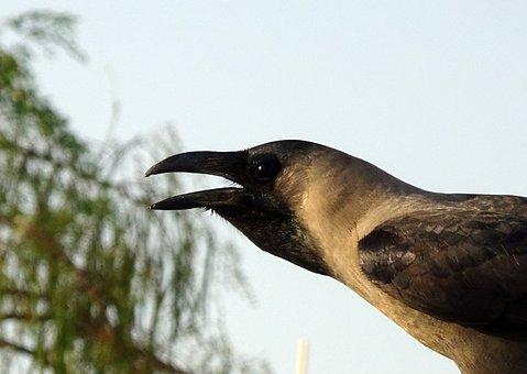 Bird, Crow, House Crow, Portrait, Corvus Splendens