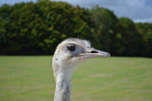 Emu, Animal, Nature, Bird, Bottom Of Screen