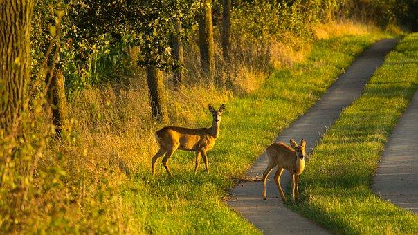 Deer, Kitz, Ricke, Away, Wild, Roe Deer, Nature