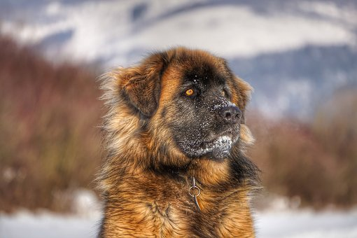 Leonberger, Dog, Winter, Portrait