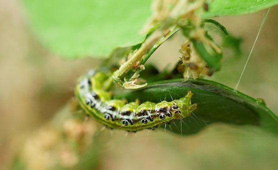 Caterpillar, Boxwood Borer, Pest, Destruction, Eat