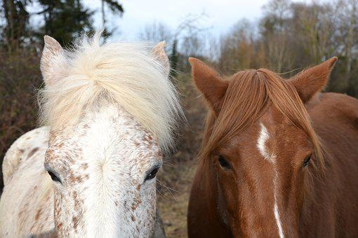 Horse, Horses, Equines, Horseback Riding, White, Brown