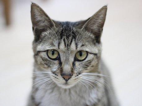 Cat, Raccoon Cat, Animal, Feline, Cute