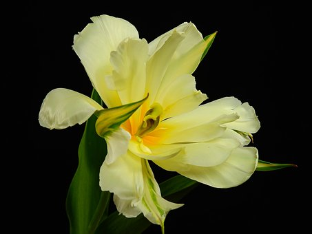 Flowers, Bloom, Flower, Plant, Spring, Lenz, Tulip