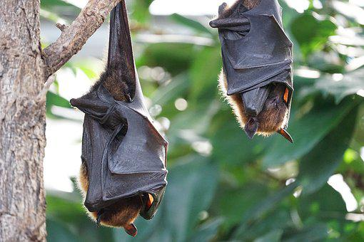 Flying Foxes, Bat, Tropical Bat