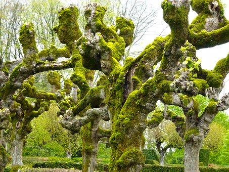 Linden, Foam, Tree, Trunk, Nature, Green, Bark, Old