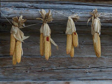 Corn, Autumn, Corn On The Cob, Harvest, Grain, Dry