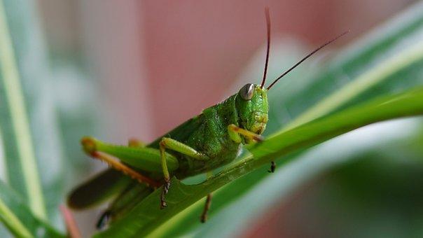 Grasshopper, Green, Insect, Nature, Bug, Macro, Animal
