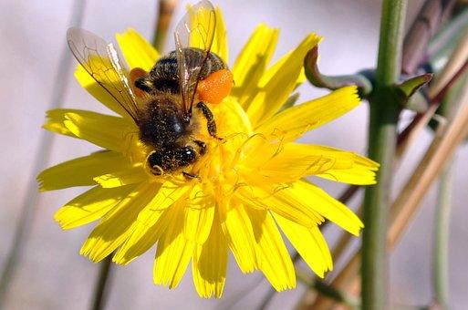 Bee, Flower, Pollen, Honey, Daisy, Daisy Flower, Hive