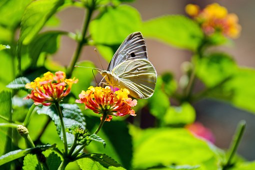 Butterfly, Colors, Silhouette, Lantana, Flowers, Moth