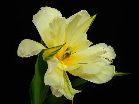 Flowers, Bloom, Flower, Plant, Spring, Lenz, Tulip