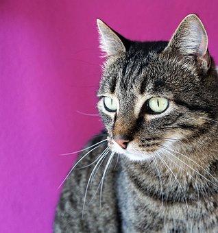 Cat, Tiger, Eyes, Animal, Tigerle, Amira, Luana, Pet