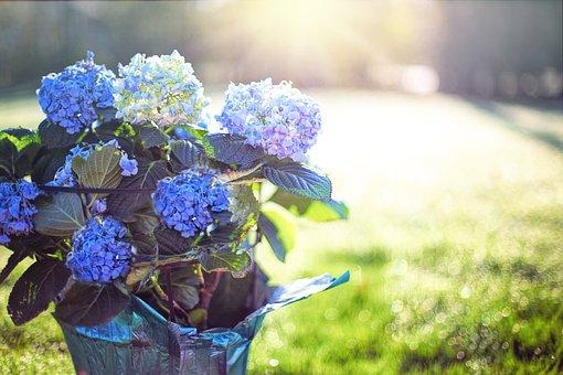 Hydrangea, Blue, Purple, Flowers, Pot, Morning