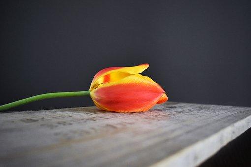Tulip, Wooden Crate, Orange, Red