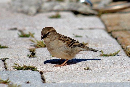 Bird, Female Sparrow, Sparrow