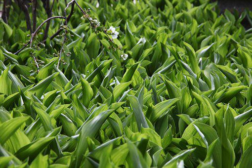 Green Grass, Lilies Of The Valley, Spring, Closeup