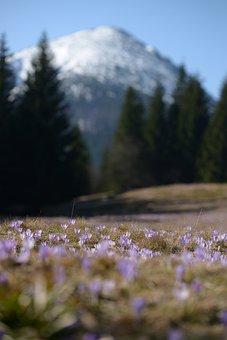 Mountains, Crocus, Spring, Meadow, Tatry, Polyana