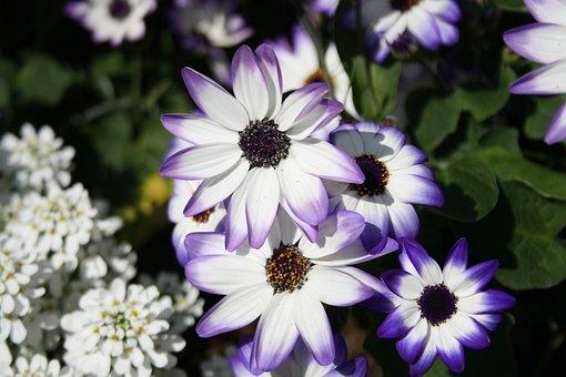 Flower, White, Violet, Magerite, Flowers, Plant