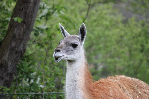 Guanaco, Zoo, Lama, Mammal, Wildlife Photography