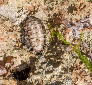 Acanthopleura Granulata, Nature, Mollusc
