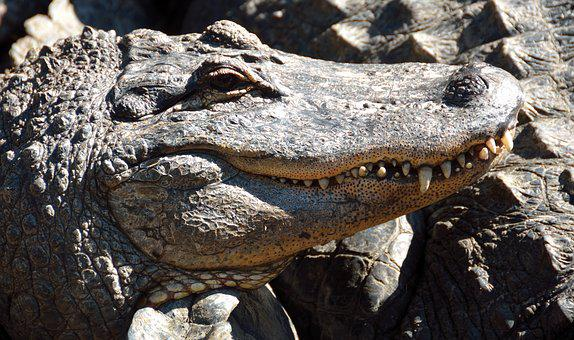 Alligator, Reptile, Close Up, Head, Scary, Animal