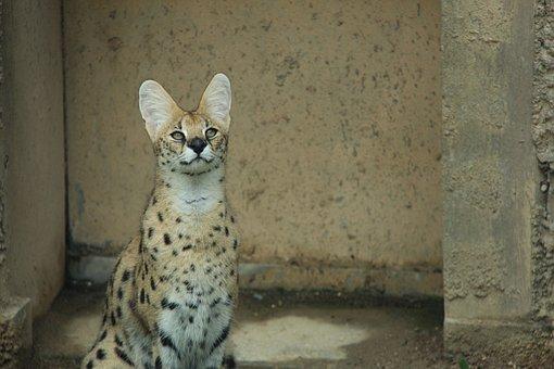 Serval, Jaguar, Beast Of Prey, Feline, Animal, Cat