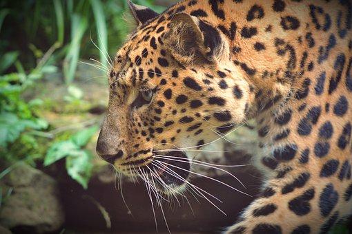 Animal, Beast, Cat, Mammal, Zoo, Animals, Predator