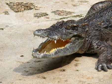 Crocodile, Zoo, Reptile, Animals, Beast, Open Mouth