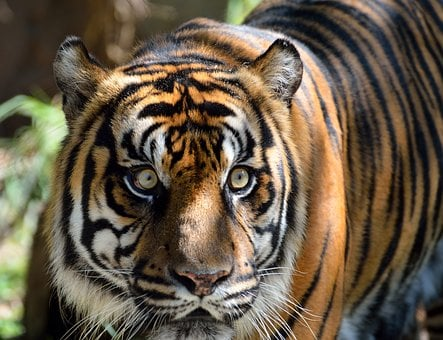 Sumatran Tiger, Cat, Large, Tiger, Wildlife, Animals