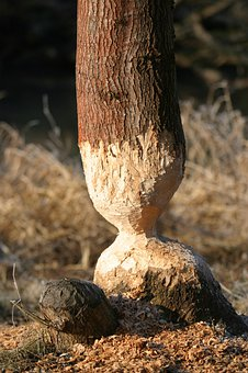 Beaver, Rodents, Schambach Valley, Altmühl Valley