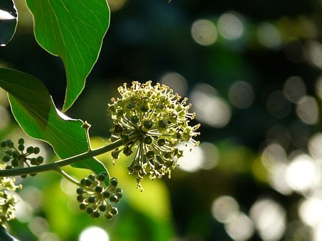 Inflorescence, Blossom, Bloom, Bloom, Ivy, Common Ivy