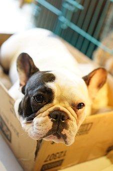 Bulldog, Dog, Box, Pet, Puppy, French
