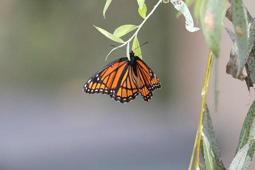 Butterfly, Monarch, Monarch Butterfly, Wings, Nature