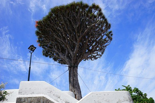 Canary Island Dragon Tree, Support, Tethers
