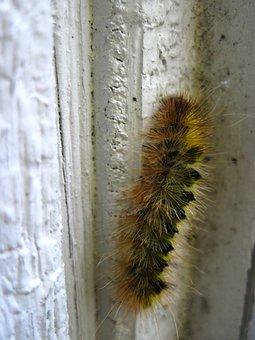 Caterpillar, Climbing, Fuzzy, Insect, Animal, Nature