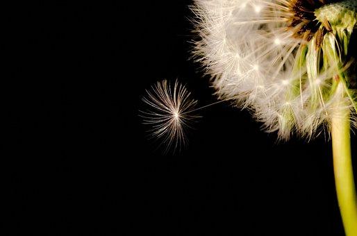 Black, Seed, Dandelion, Close-up, White, Macro, Wind