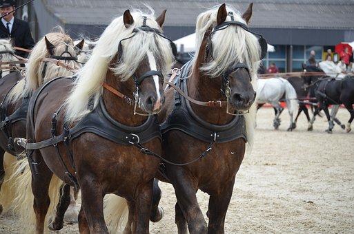 Coach, Stallions, Heavy Draft Stallions