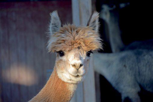 Alpaca, Farm, Cute, Animal, Mammal, Nature, Face, Fur