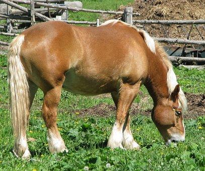 Domestic Horse, Equus Ferus Caballus