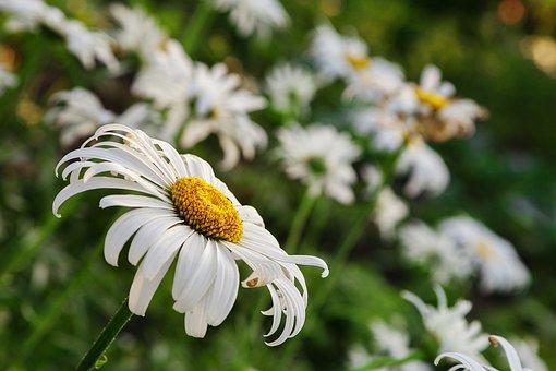Daisy, Summer, Postcard, Closeup, Flowers Of The Field