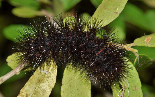 Caterpillar, Furry Caterpillar, Fuzzy Caterpillar