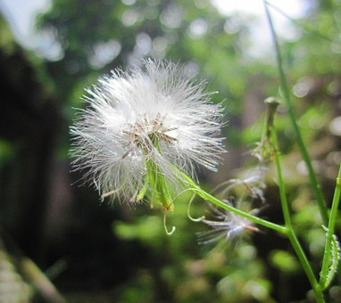 Flower, Grass, Green, Weed, Dandelion, Furry, Fuzzy