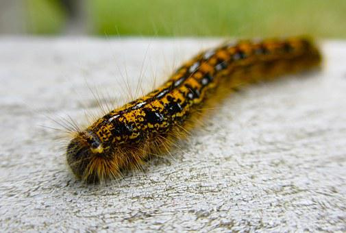Caterpillar, Fuzzy, Close-up, Animal, Insect, Nature