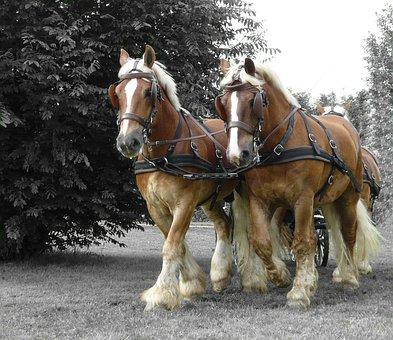 Draft Horse, Horse, Sports, Animals, Nature