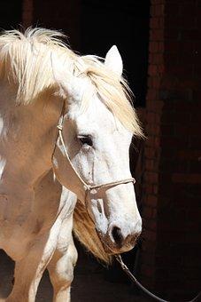 Horse, Percheron, Shadows, White, Draft, Animal